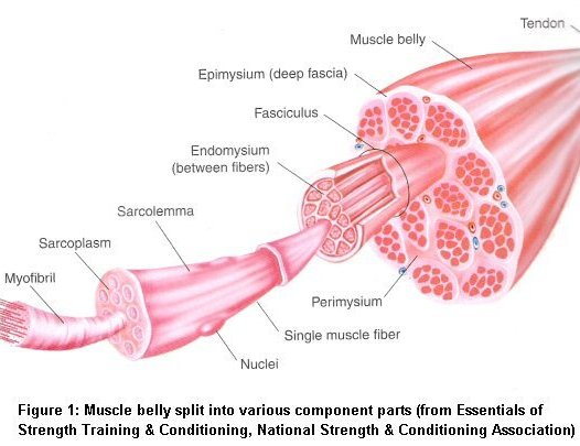 strength training anatomy pdf file